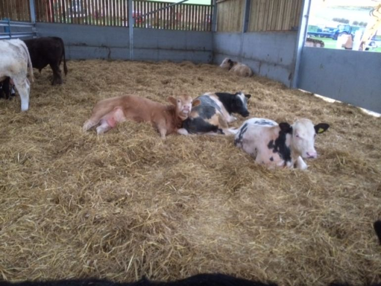 DEB'S NEW ADDITIONS IN HER NEW COW SHED,,,